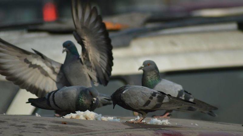 Bird Animal Wildlife No People Mourning Dove Spread Wings Outdoors Animal Themes Nature Bird Of Prey