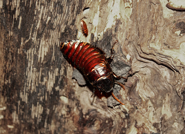 Cockroach Animal Themes Animal Wildlife Cockroach Insect Invertebrate Nature Tree Trunk Zoo