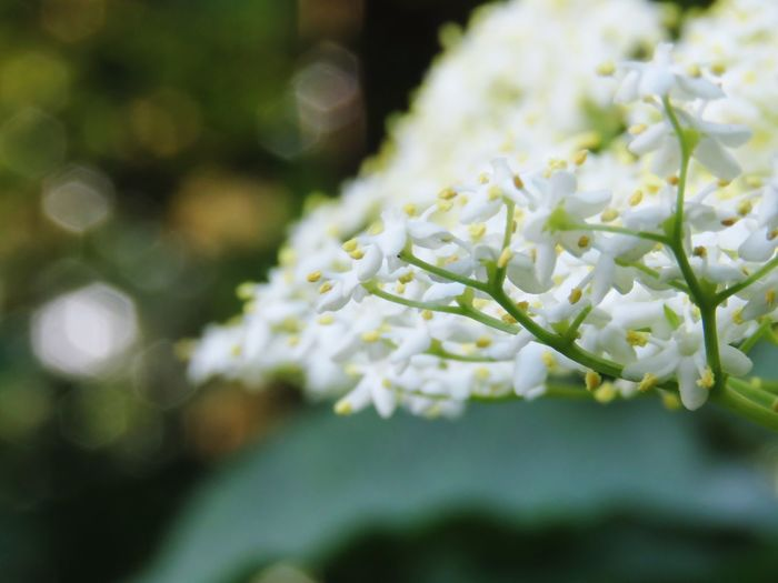 Flower Freshness Fragility Selective Focus Growth Petal Beauty In Nature White Color Close-up Springtime Plant Nature Flower Head Blooming Day In Bloom Blossom Bloom Botany No People