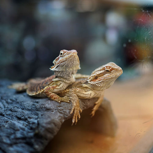 Close-up of bearded dragon on a rock