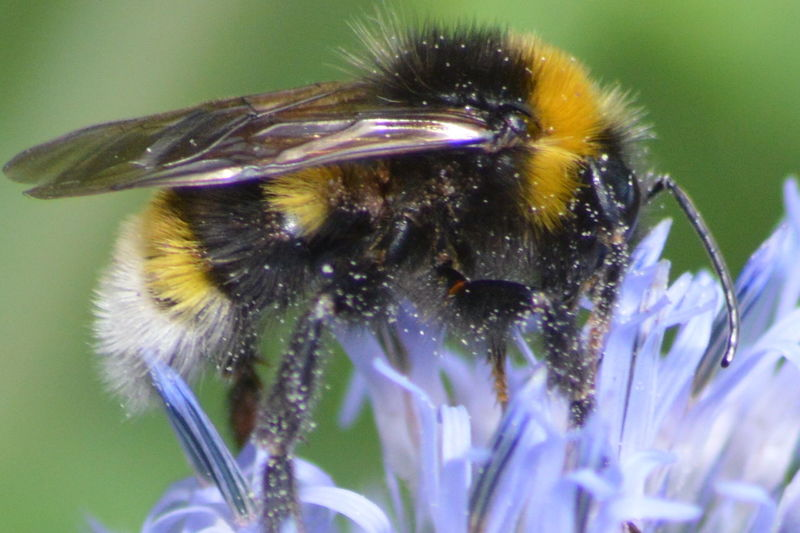 No Filter, No Edit, Just Photography Nature Photography Macro Beauty Beauty In Nature Macro Nature Nikon D3200 Close Up Flowers Bee Bee Collecting Pollen Pollen Bumblebee Insect Photography Insect Paparazzi Macro Insects