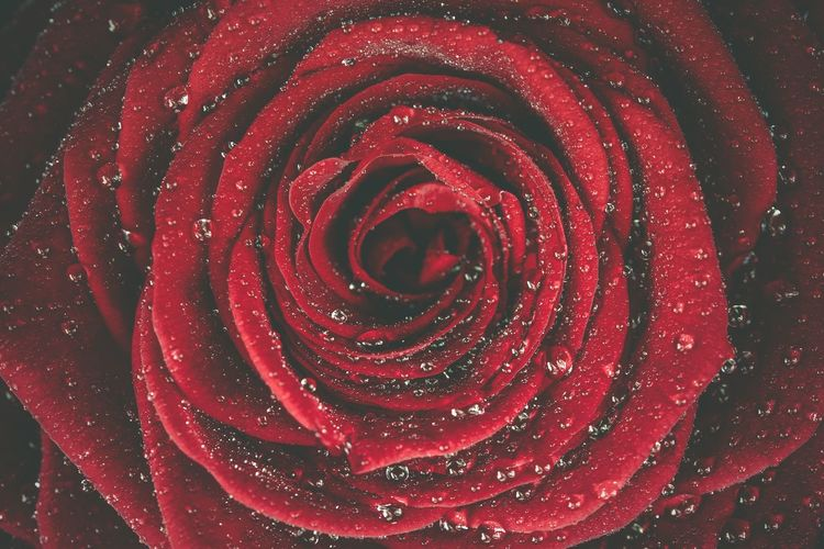 Red Rose Dew Closeup Photo Background. Red Rose Macro. Dew Beauty In Nature Burgundy Close-up Floral Flower Flower Head Flowering Plant Fragility Inflorescence Nature No People Petal Red Red Rose