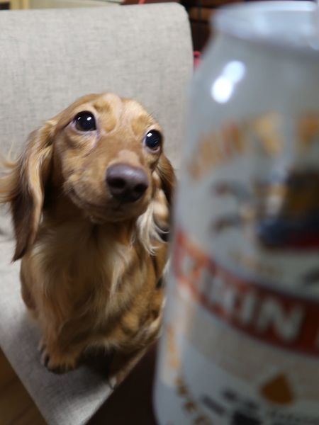 Dog Pets One Animal Animal Themes Looking At Camera Close-up No People Portrait Indoors  Day 犬バカ部 😚 わんこ ダックスフンド 犬 ペット Dachshund Beer Kirin Kirinbeer Ichibanshibori 麒麟 キリンビール きりん 一番搾り