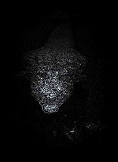 Crocodile Nature Nature Photography Wildlife