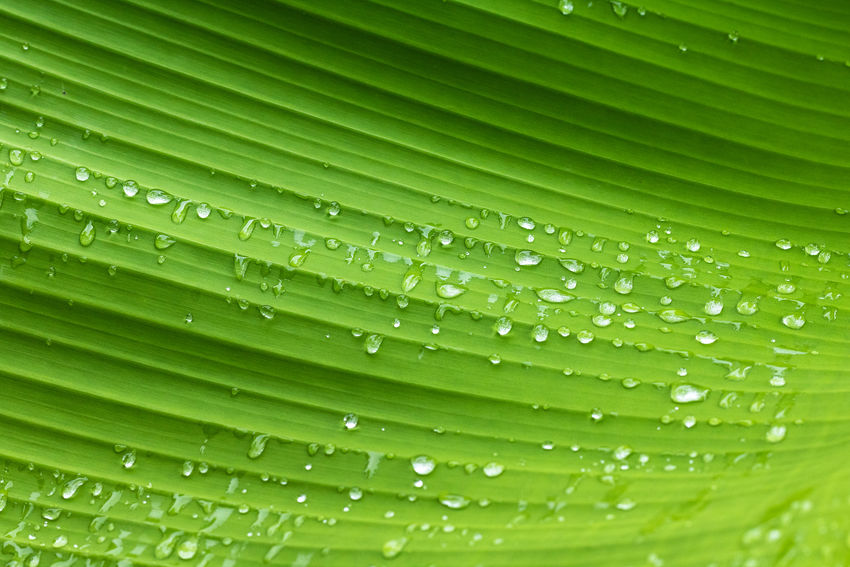Green leaf pattern and dew with abstract line in nature background. Green nature background. Dew Leafs Nature Nature Photography RainDrop Backgrounds Beauty In Nature Close-up Dew Drop Environment Environmental Conservation Freshness Green Color Growth Leaf Leaves Nature No People Outdoors Plant Plant Part RainDrop Water Wet