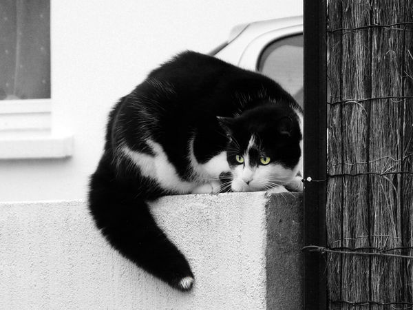 Black And White Cat Cat Hunting  Animal Themes Black And White With Color Cat Eyes Cat Cat Chasing Cat On A Wall Domestic Cat Pet Portrait Hunting FelineImpressive Cat One Animal Outdoors Pet EyeEm Best Edits