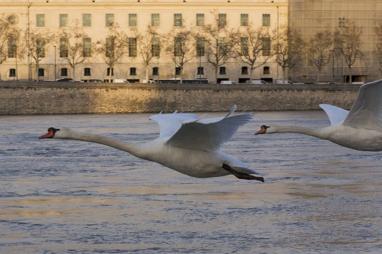 Beautiful Lyon Nikon Animal Themes Animal Wildlife Animals In The Wild Architecture Bird Building Exterior City Day Flying Mid-air Motion Nature Nikonphotography No People Onlylyon Outdoors Swan Water