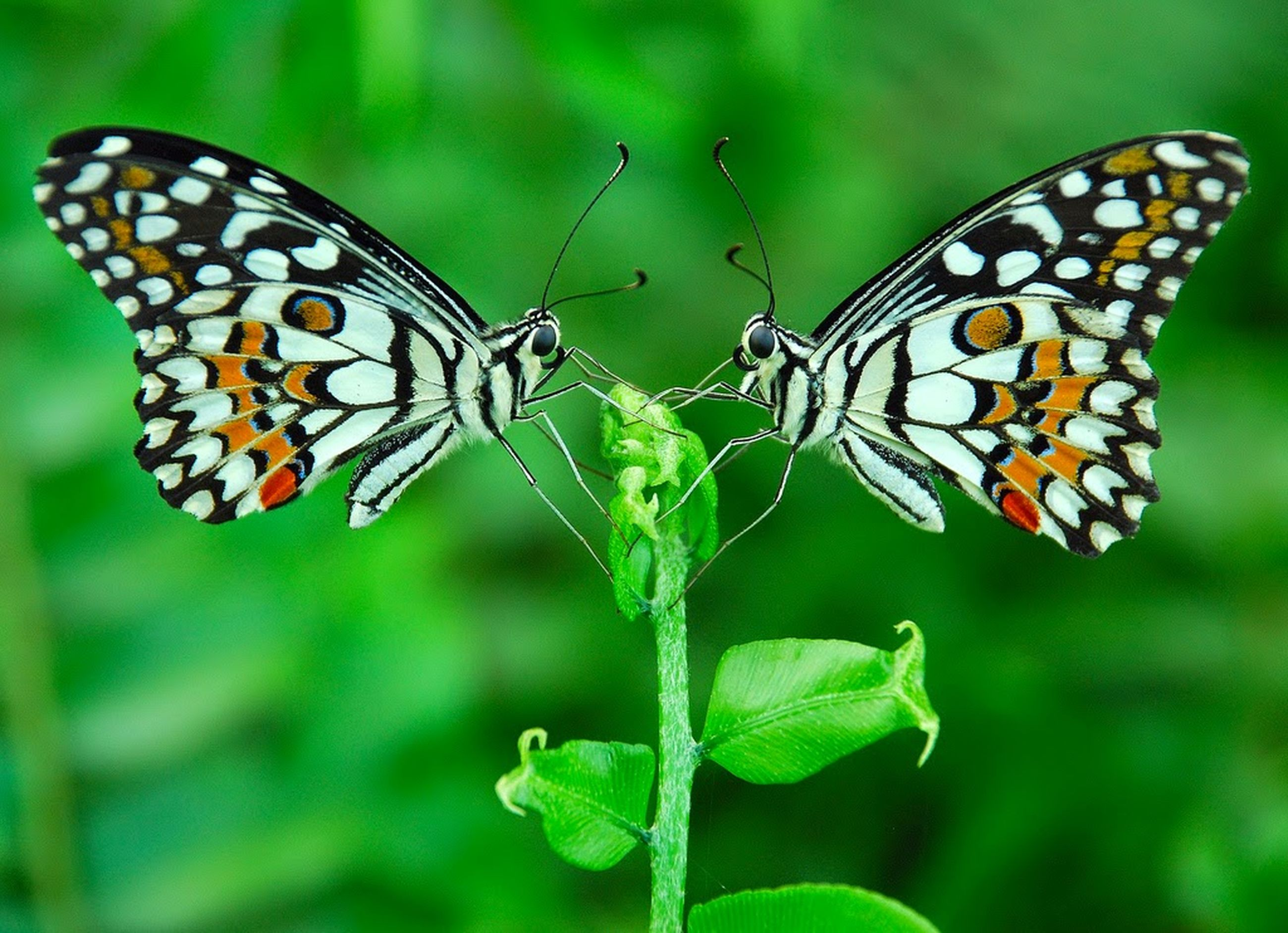 animals in the wild, animal themes, insect, one animal, wildlife, butterfly - insect, animal markings, butterfly, natural pattern, animal wing, close-up, focus on foreground, beauty in nature, leaf, nature, plant, outdoors, day, spread wings, green color