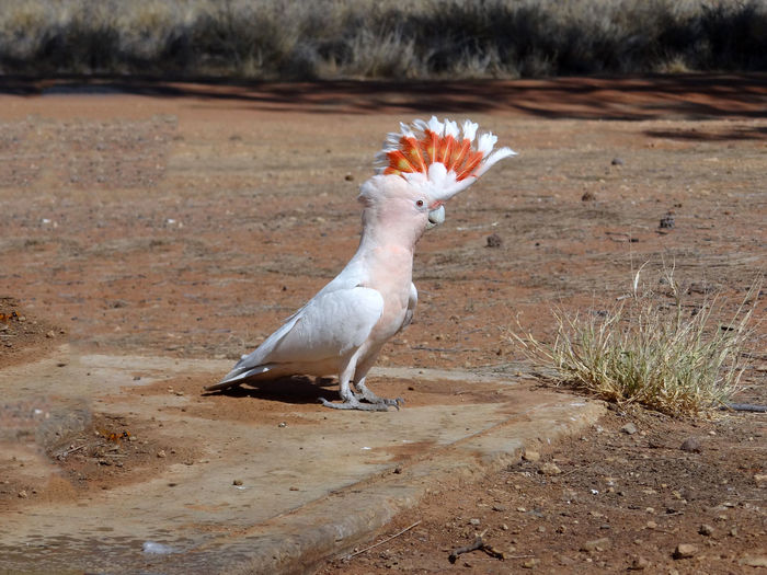 Major Mitchell's cockatoo, pink cockatoo, Northern territory, Australia Australia Cockatoo Desert MAJOR MITCHELL'S COCKATOO Northern Territory Pink Animal Animal Themes Animal Wildlife Animals In The Wild Bird Day Domestic Animals Field Focus On Foreground Full Length Land Mammal Nature No People One Animal Outdoors Plant Side View Vertebrate White Color