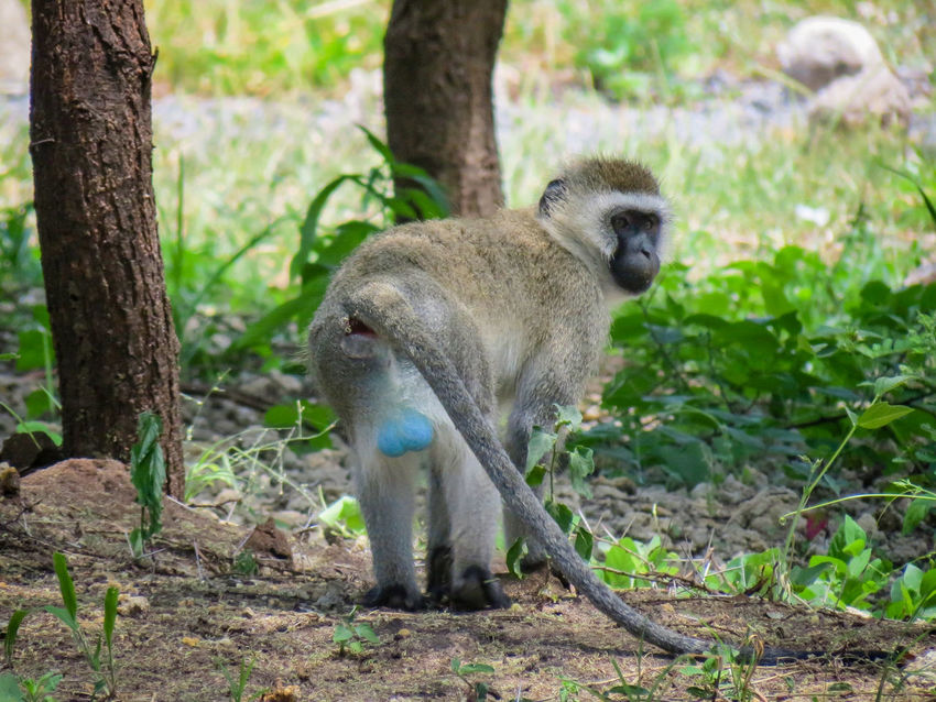 African Beauty African Nature Animal Themes Animal Wildlife Animals In The Wild Beauty In Nature Blue Balls Cercopithecidae Monkey One Animal Tanzania Tarangire Unusual Coloring Vervet Vervet Monkey Vervetmonkey Wildlife Check This Out Check It Out Check This Out! Checkthisout EyeEm Animal Lover EyeEm Nature Lover This Is Masculinity
