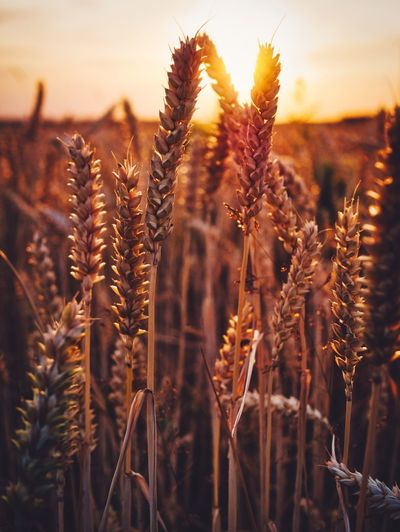 Summer Sunsets Plant Growth Sunset Nature Agriculture Close-up Sky Beauty In Nature Field No People Crop  Cereal Plant Scenics - Nature Sunlight