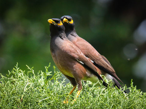 Bird Feather  Grass Animal Wildlife One Animal Multi Colored Nature Looking At Camera Close-up Perching Outdoors Beak Yellow Animals In The Wild Beauty In Nature No People Portrait Day Animal Great Outdoors-EyeEm Awards 2017 Focus On Foreground Mynah Myna Mynahs Mynah Bird