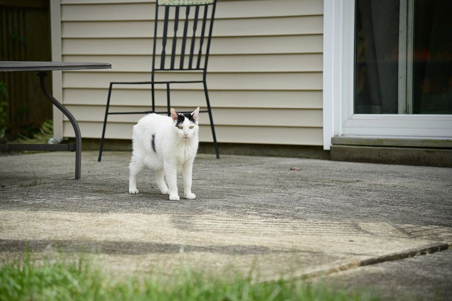 A white cat hangs out on the patio in the backyard Cat Outside Cats Afternoon Meow Mammal Vertebrate Animal Pet White Cat Black Spots Cement Patio Portrait Wide Wide Angle Domestic Architecture Building Exterior Suburbia Rural Scene Built Structure Standing Backyard House Feline EyeEmNewHere A New Beginning