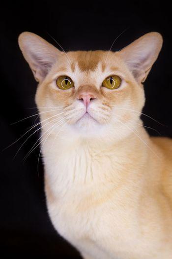 Pet Portraits EyeEm Selects Pets Domestic Cat Portrait Domestic Animals Looking At Camera One Animal Animal Studio Shot Black Background Animal Themes Sitting Burmese Cat Burmacat