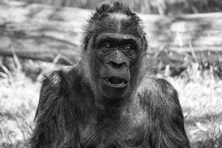 Gorilla sitting at zoo