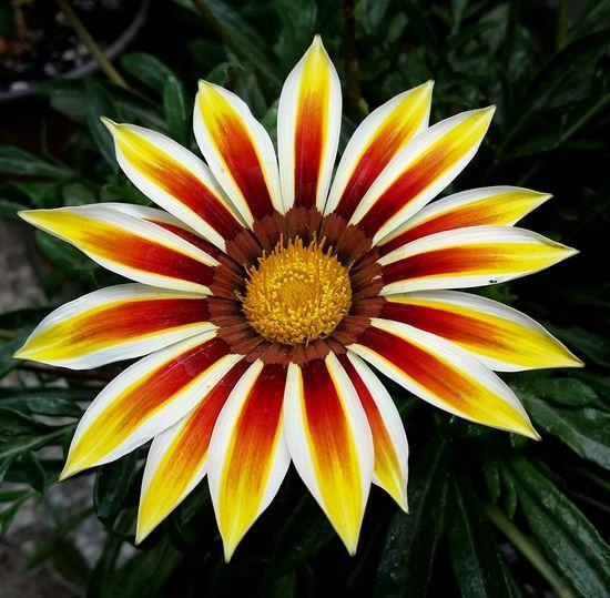 Close-up of gazania blooming outdoors