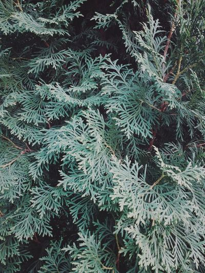 Thuja Abstract Backgrounds Beauty In Nature Branch Close-up Day Details Details Of Nature Freshness Green Color Growth Nature Needle - Plant Part No People Outdoors Pattern Plant Thuja Pine EyeEmNewHere