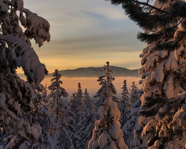 Snow covered pine trees in forest during sunset
