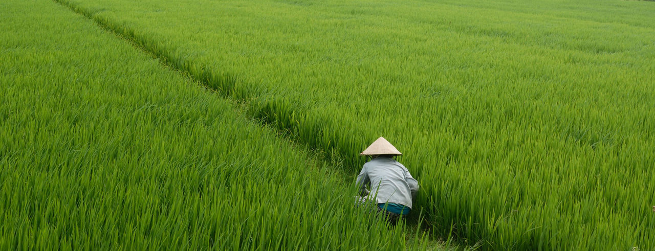 Rear view of farmer working in rice field