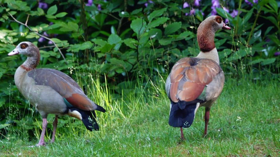 Egyptian Goose Alopochen Aegyptiaca Geese Goose Vertebrate Animal Animal Themes Bird Animal Wildlife Animals In The Wild Plant Nature Grass Group Of Animals Poultry Two Animals Duck No People Green Color Outdoors Growth Field Land Day