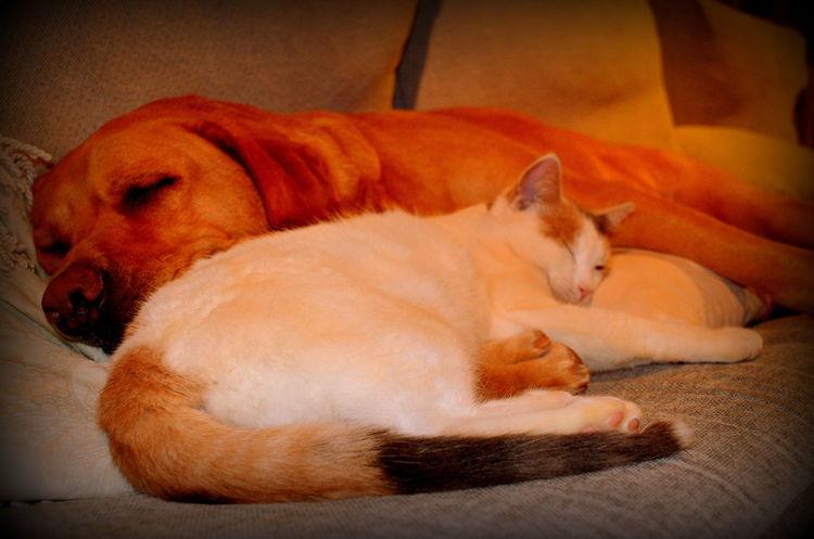 And they call it...... Cat Labrador Labrador Retriever LabradorLove