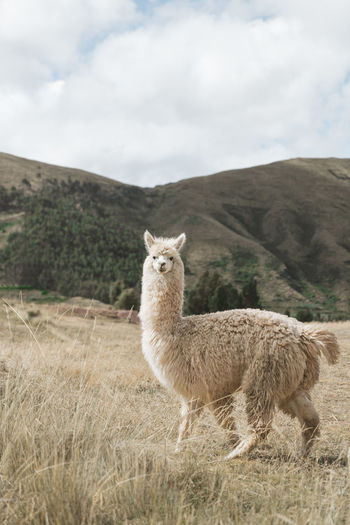 White fluffy alpaca standing in a field looking straight at the camera