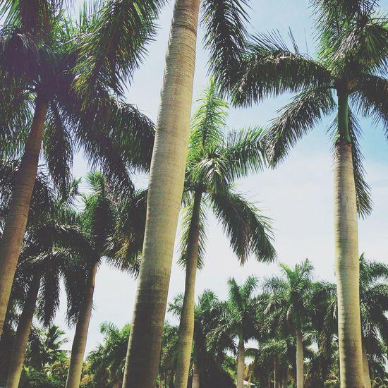 First Eyeem Photo Palm Trees Summer EyeEm Nature Lover Florida Bonita Springs United States