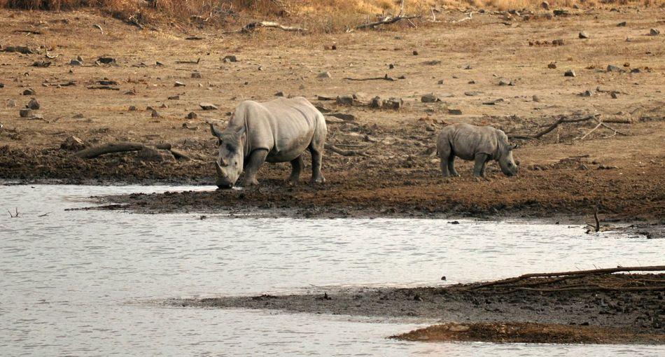 Rhinos On Lakeshore