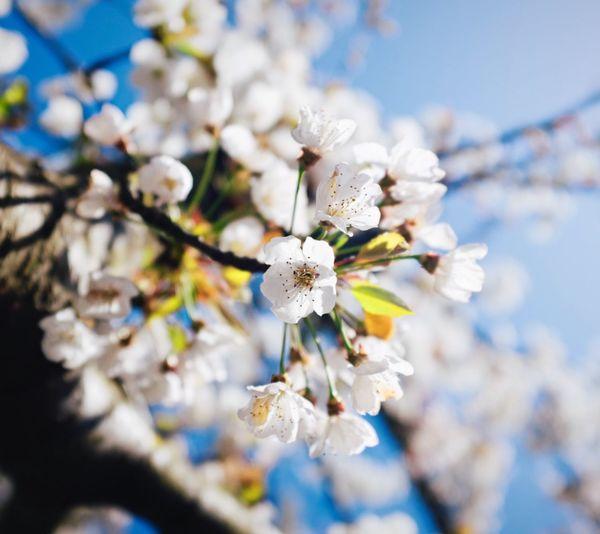 Close-Up Of Apple Blossom