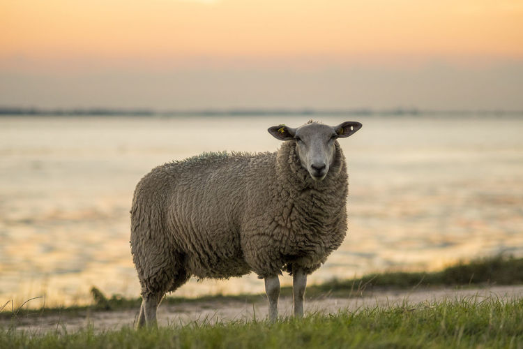 Sheep on field by sea during sunset