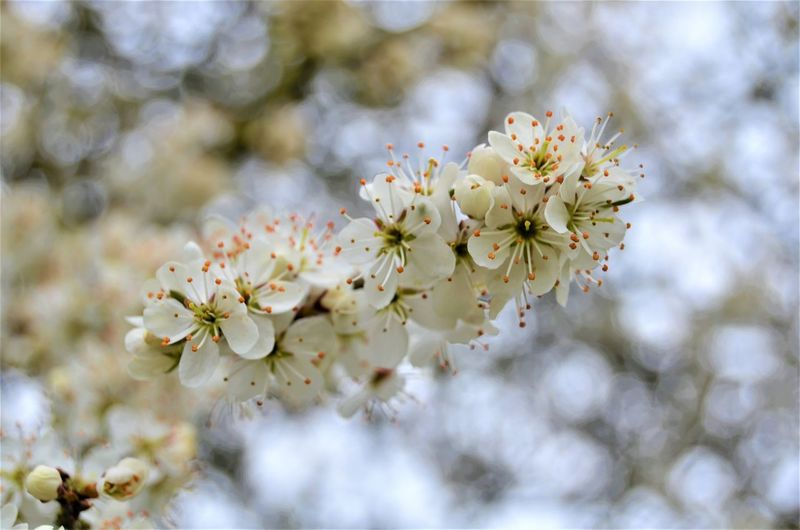 Plant Fragility Flower Tree Flowering Plant Freshness Vulnerability  Branch Blossom Beauty In Nature Close-up Cherry Blossom Growth Springtime Nature Twig Day Petal Fruit Tree Pollen No People Cherry Tree Flower Head Outdoors Bunch Of Flowers Nature By Tania Andreea