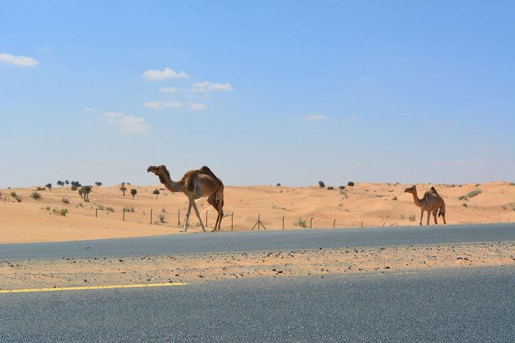 United Arab Emirates Dubai Dubaidesert VAE Wüste  Dunes Kamel Sand Dune Desert Arid Climate Clear Sky Sand Heat - Temperature Blue Sunlight Camel Sky Safari Animals Safari Sunset Drought Savannah Countryside Horizon Over Land