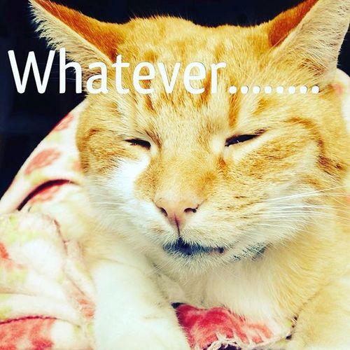 Whatever Pepetheredcat Catsofinstagram Worldofcats Justmeow Catlogic Cats Cat Mybigcatselfie Funnycat Hellocat Pepe