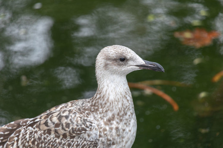 Seagull with blurred water background