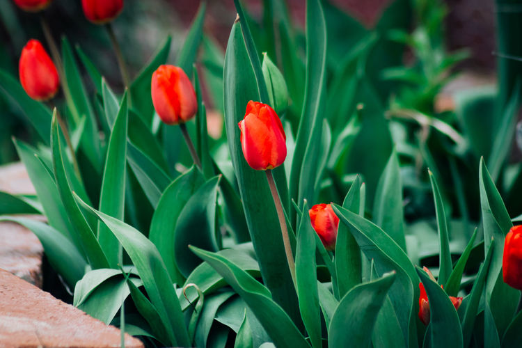 Close-up of red tulip flowers