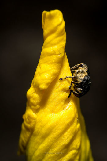 Yellow Insect No People Flower Close-up Animal Themes Black Background Nature Freshness Day Outdoors Art Is Everywhere Insect Photography Insect Macro  Macro Macrophotography Animal Beetle One Animal Plant Growth Fragility Paint The Town Yellow