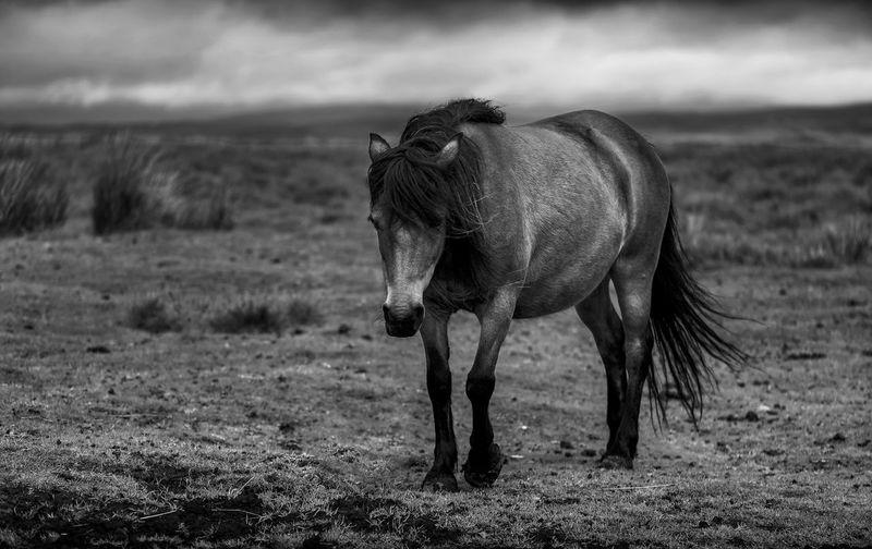 Wild Pony Horse