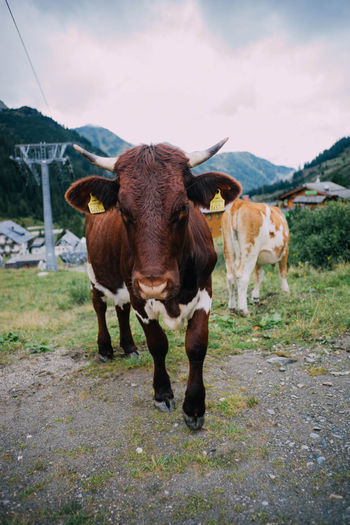 Alps Animal Portrait Animal Themes Austria Cattle Close Up Cow Cow Close Field Grass Grazing Livestock Mounatin Mountain View Mountains Mountains And Sky One Animal Outdoors Sky First Eyeem Photo