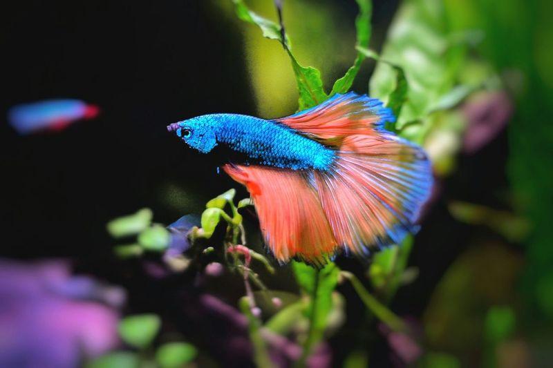 Beauty In Nature Multi Colored Close-up Aquarium Aquarium Life Aquarium Photography Underwater Nanotank Betta Splendens