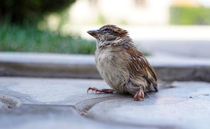 Animal Animal Wildlife One Animal Animals In The Wild Day Outdoors No People Full Length Nature Close-up Animal Themes Bird Young Sparrow Young Bird Broken Bird Sick Sparrow Sick Bird Injured Bird Injured Sparrow Sparrow Bird Sparrow Bird Flu Animals In The Wild