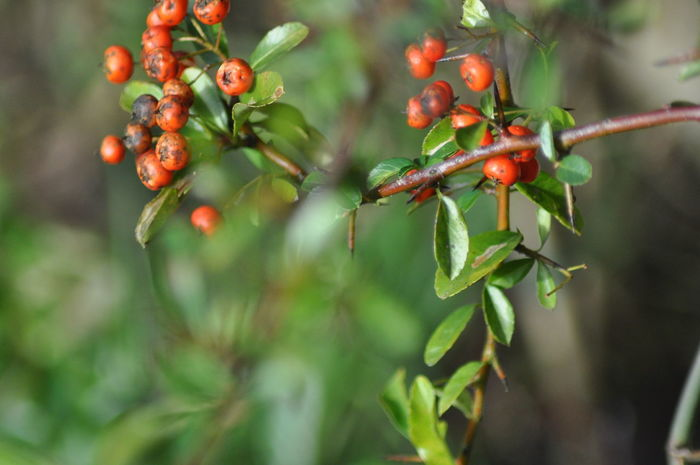 Berries Berries On A Branch Beauty In Nature Berry Close-up Day Focus On Foreground Food Food And Drink Freshness Fruit Green Color Growing Growth Leaf Nature No People Outdoors Plant Red Red Berries Red Berry Rose Hip Rowanberry Tree The Week On EyeEm