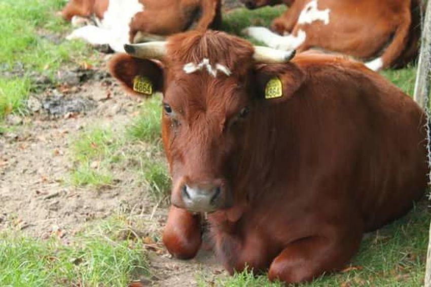 Koeien In Het Weiland Cows!!! Cows In A Field Cows Cows In The Feilds Koeien Kasteel Schaloen Valkenburg Canon EOS 1300D Beauty In Nature