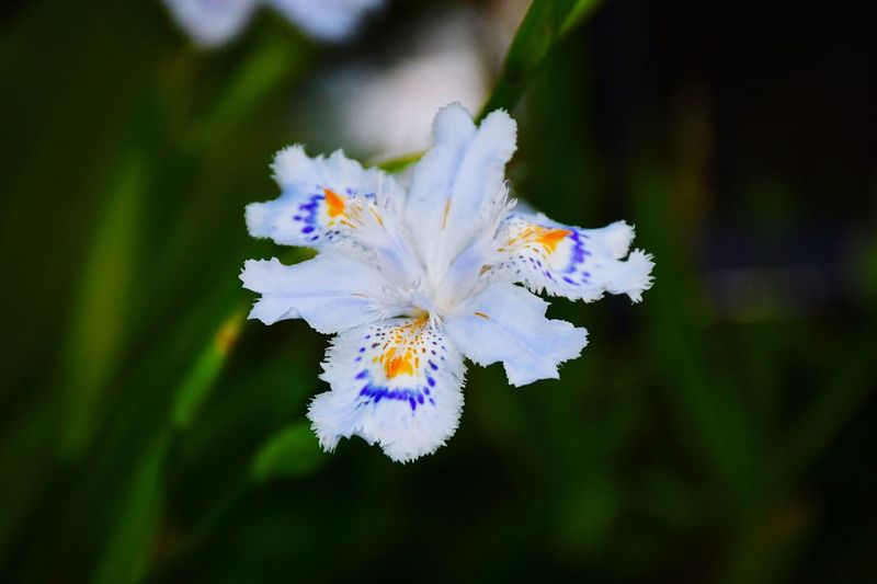 Iris Japonica EyeEm Gallery EyeEm Nature Lover EyeEm Best Shots - Flowers Flower Flowering Plant Vulnerability  Plant Fragility Beauty In Nature Close-up Freshness Flower Head Petal Focus On Foreground Pollen Botany Outdoors White Color No People Growth Nature