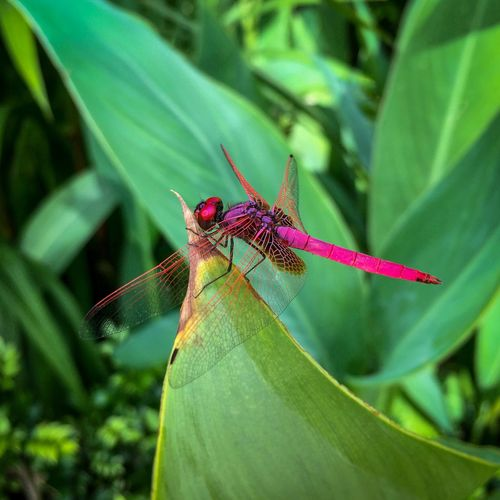 Pink dragonfly Trithemis Aurora Crimson Marsh Glider Crimson Dropwing Dragonfly Luminous Pink Crimson Red Metallic Eyes Compound Eyes Transparent Wings Red-veined Wings Insect Paparazzi Dragonflies Pasir Ris, Singapore September 2017 Dragonfly Pink Color Pink Dragonfly Invertebrate Insect Animal Themes Animal Wildlife One Animal Animal Animal Wing Close-up Focus On Foreground Leaf Green Color Beauty In Nature Day No People