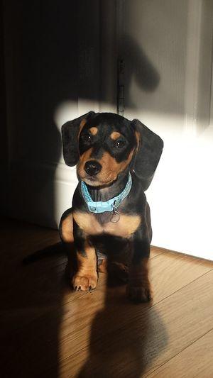 Cute Dog Pets Domestic Animals Dachshund