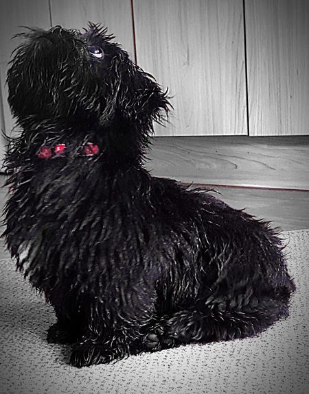 Lhasa Apso Lhasa Apso Puppies Domestic Animals One Animal Pets Animal Themes Mammal Black Color Livestock Dog Indoors  Rooster No People Full Length Day Close-up