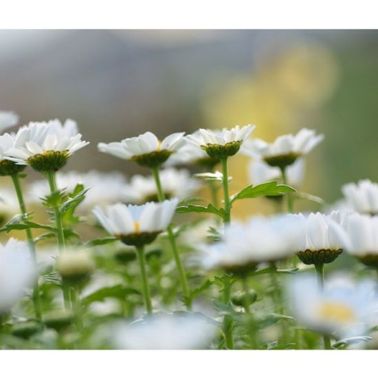 Japan Nikon D5200 TAMROM EyeEm 2015 Cute North Pole ノースポール Spring Flowers