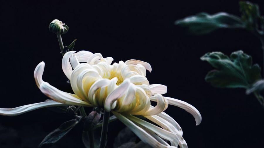 Black Background Animal Wildlife Flower Close-up No People One Animal Plant Sea Life Nature Animals In The Wild Petal Living Organism Flower Head Animal Themes Fragility Beauty In Nature Water UnderSea Outdoors Day