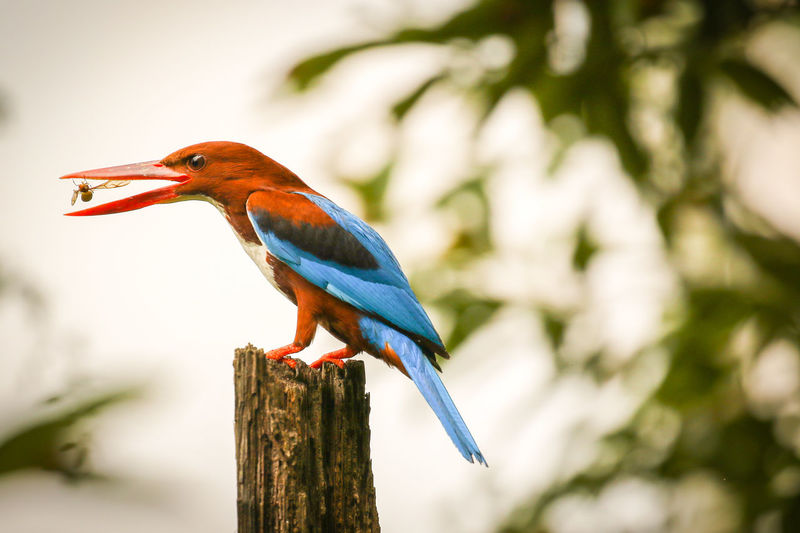 indian Kingfisher Kerala Bird Perching Tree Blue Branch Close-up Kingfisher Beak Prey Tropical Bird Tail