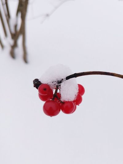 Close-Up Of Red Currants During Winter